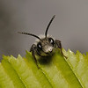 Andrena cineraria male, May