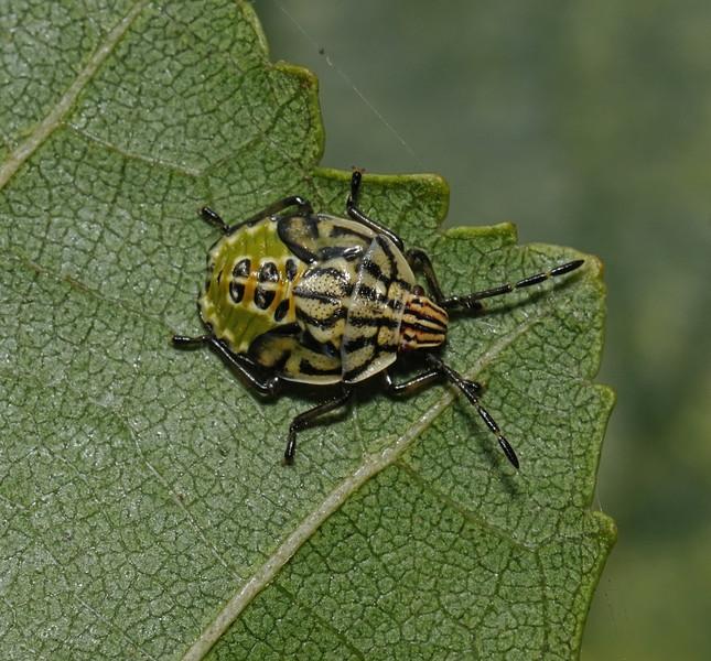 Parent Bug - Elasmucha grisea nymph, September