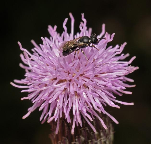 Hylaeus sp, July
