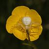 Misumena vatia with prey, May