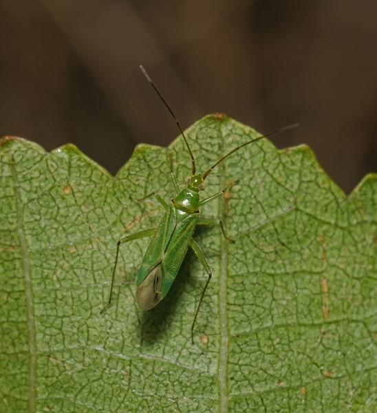 Blepharidopterus angulatus, August