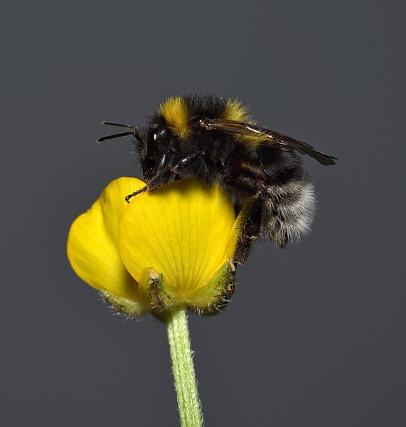 Bombus lucorum, June