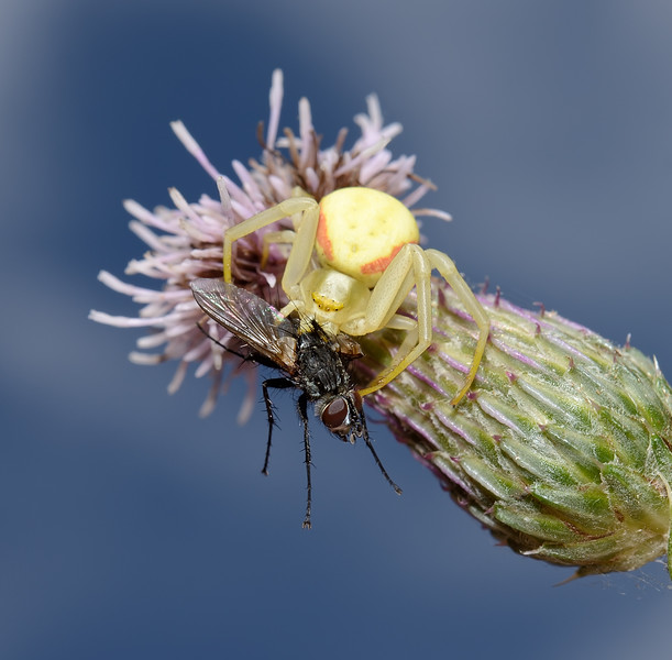 Misumena vatia with prey, August