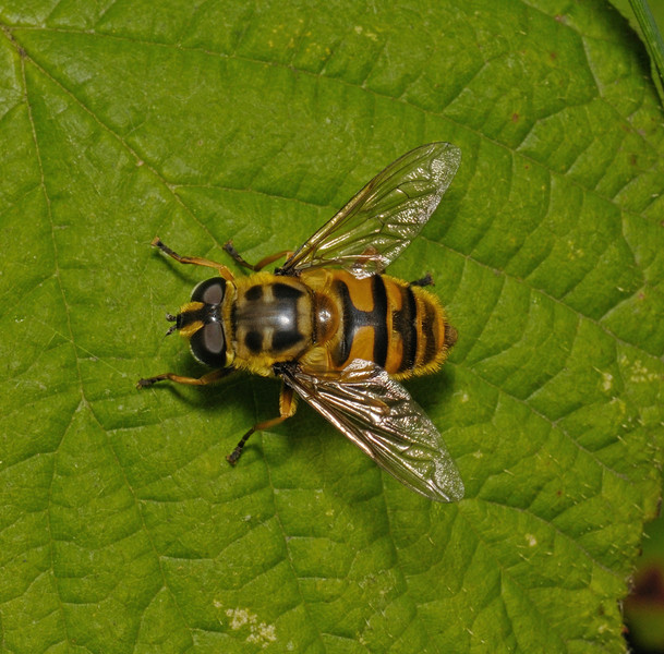 Myathropa florea female, July