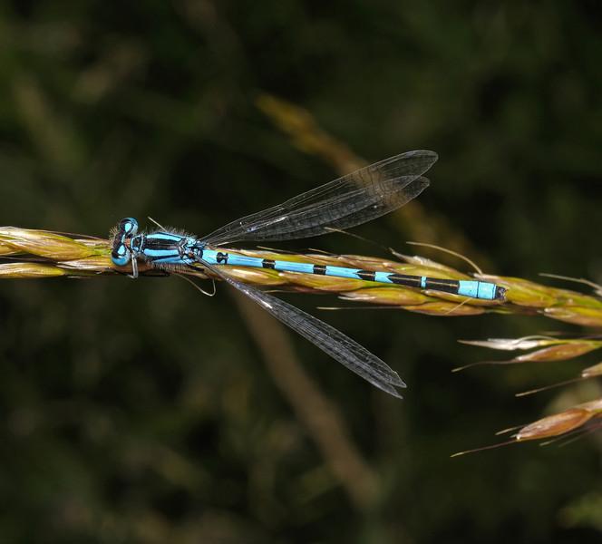 Common Blue Damselfly - Enallagma cyathigerum, June