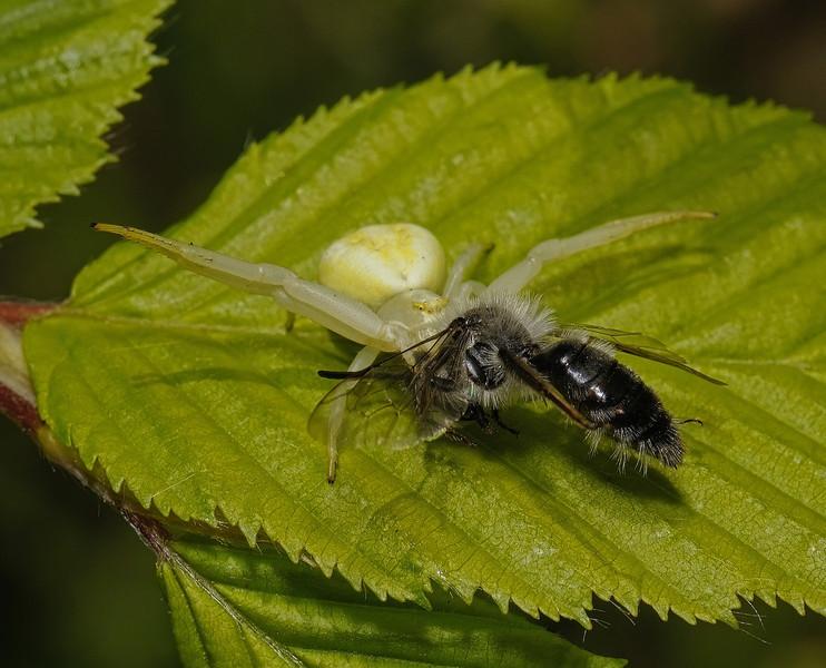 Misumena vatia with Andrena cinereria prey, April