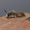 Andrena sp, April