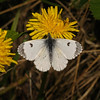 Orange Tip female, April
