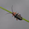Cantharis rustica, June