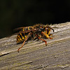 Dolichovespula media, August