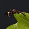 Nomada flava female, April