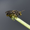 Lasioglossum sp, August