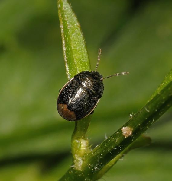 Legnotus limbosus, May