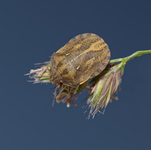 Tortoise Shieldbug - Eurygaster testudinaria,  May