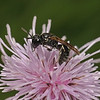 Hylaeus sp, July