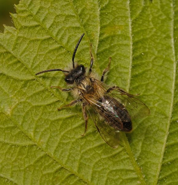 Andrena carantonica male, May
