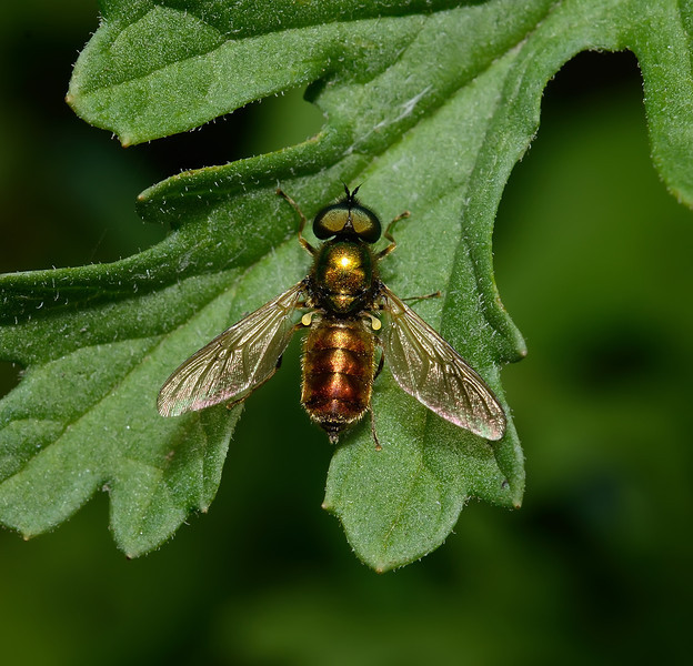 Chloromyia formosa, June