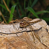 Female Common darter - Sympetrum striolatum, September