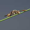 Andrena flava, May