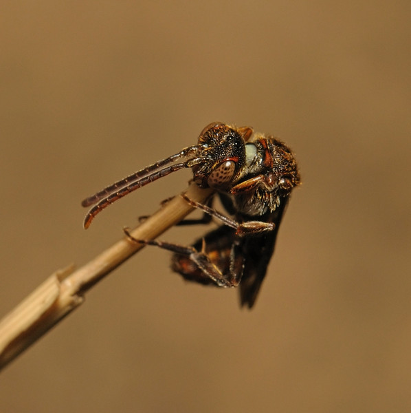 Nomada flavoguttata, May