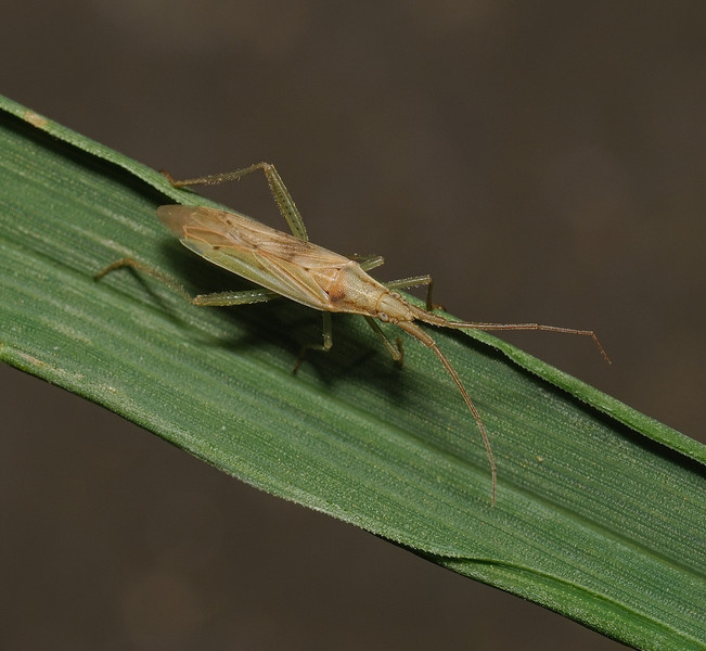 Stenodema laevigata, April