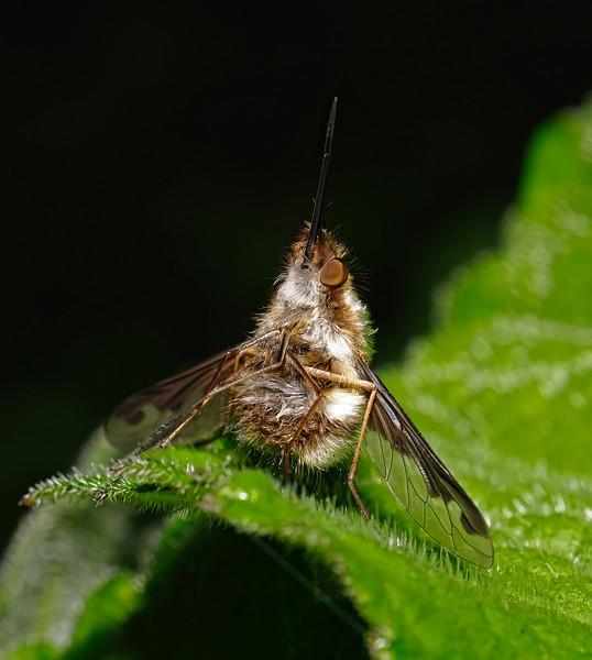 Bombylius major, April