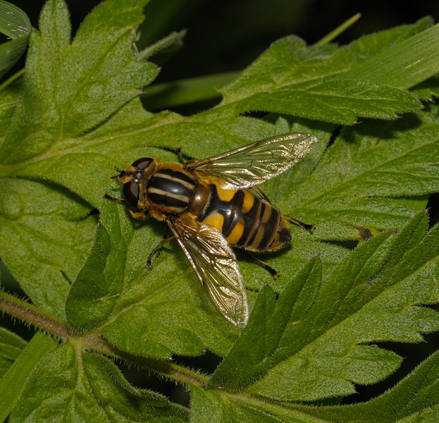 Helophilus sp, May