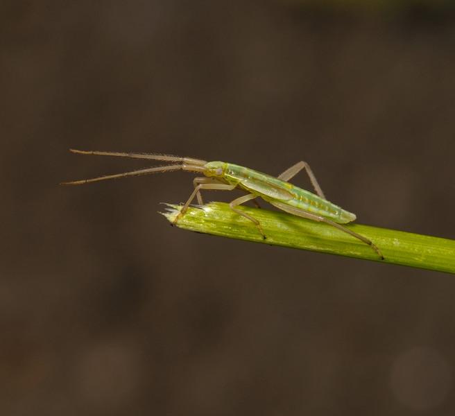 Stenodema laevigata nymph, July
