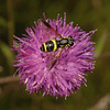 Chrysotoxum bicinctum female, July