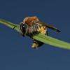 Andrena haemorrhoa, May