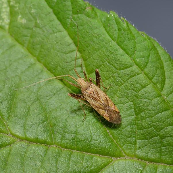 Phytocoris varipes, September
