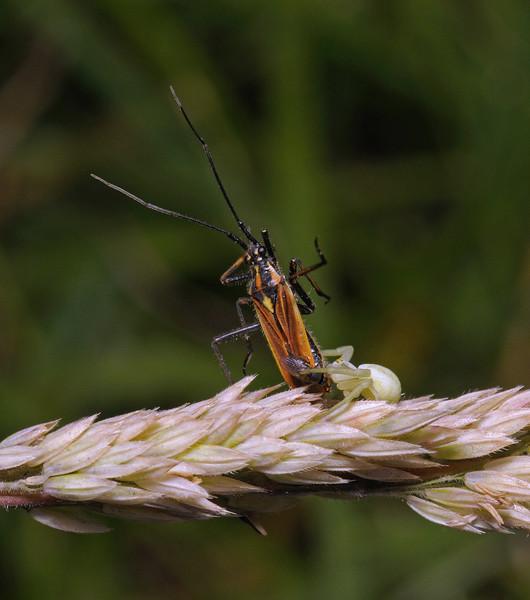 Misumena vatia with Leptopterna dolabrata prey, July