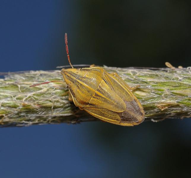 Bishop's Mitre Shieldbug - Aelia acuminata, May