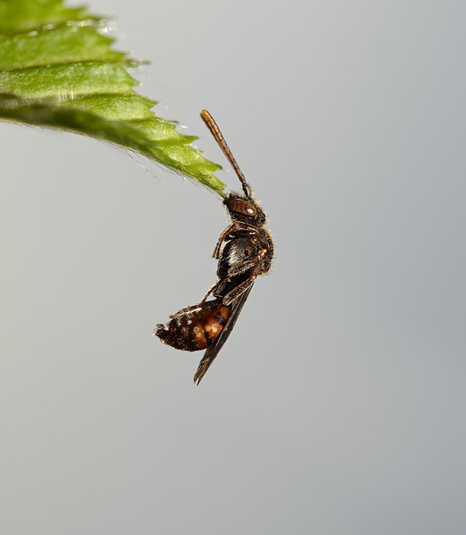 Nomada flavoguttata, April
