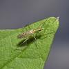 Dicyphus epilobii, August