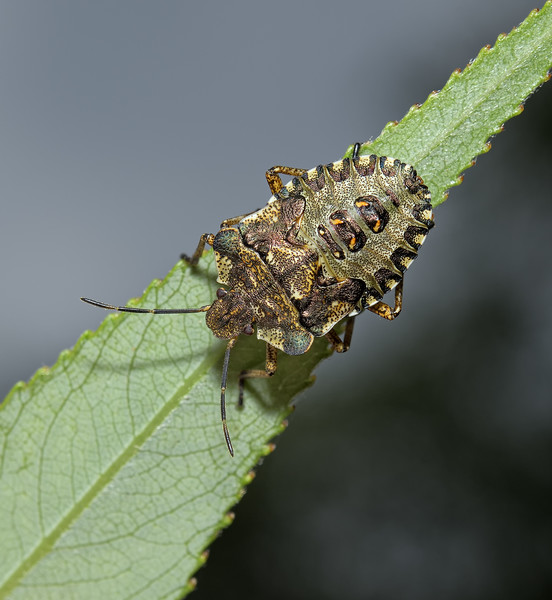 Forest Shieldbug - Pentatoma rufipes nymph, June