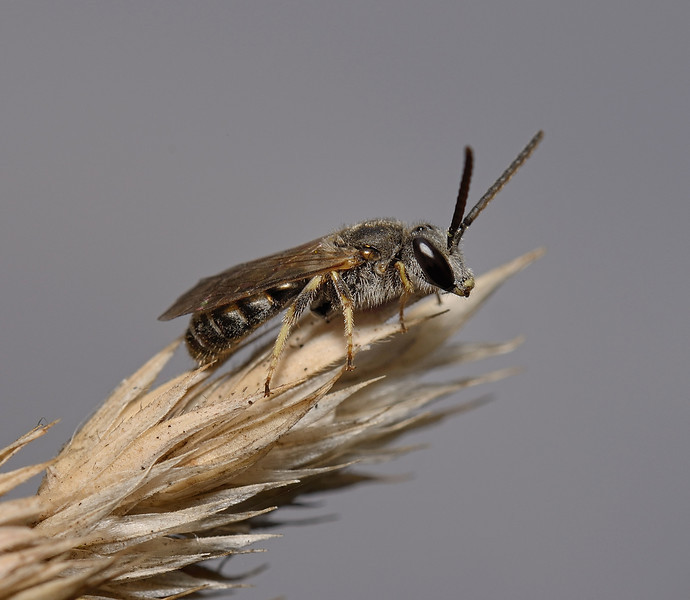 Lasioglossum sp, September