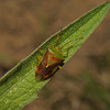 Birch Shieldbug - Elasmostethus interstinctus, May
