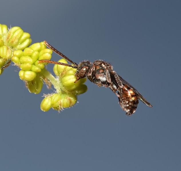 Nomada flavoguttata, April