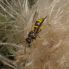 Ancistrocerus sp, July