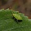 Pantilius tunicatus nymph, August
