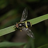 Chrysotoxum bicinctum male, June