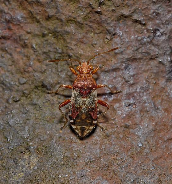 Rhopalus subrufus, September
