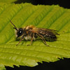 Andrena carantonica male, May