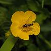 Meliscaeva auricollis, May