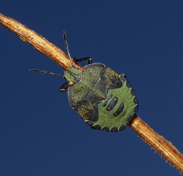 Green Shieldbug - Palomena prasina nymph, September