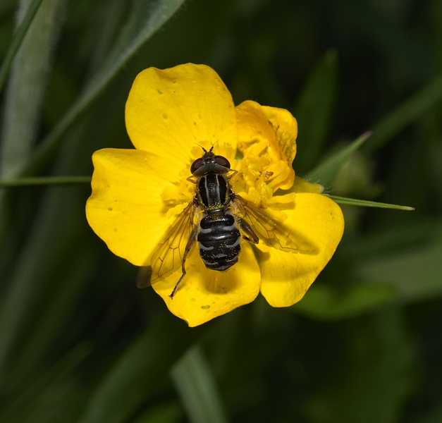 Anasimyia lineata, May