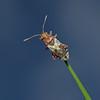 Rhopalus subrufus, May