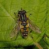 Helophilus sp, May