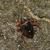 Forest Shieldbug - Pentatoma rufipes, September